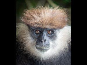 Langur_Monkey_Sri_Lanka_web.jpg