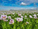 White_Opium_Poppies